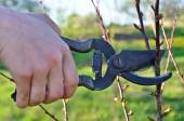 The gardener cuts the branches of trees in the garden — Stock Photo