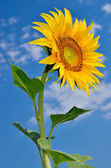 Ripe, young sunflower blooming against the blue sky — Stock Photo