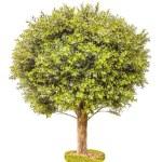 Boxwood green tree — Stock Photo #52418087