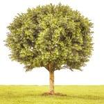 Boxwood green tree — Stock Photo #52418139