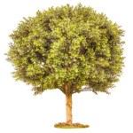 Boxwood green tree — Stock Photo #52418161