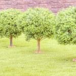 Boxwood green tree — Stock Photo #52418269