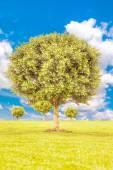 Bukszpan zielony drzewo — Zdjęcie stockowe