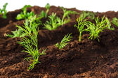 Bed dill parsley closeup — Stock Photo