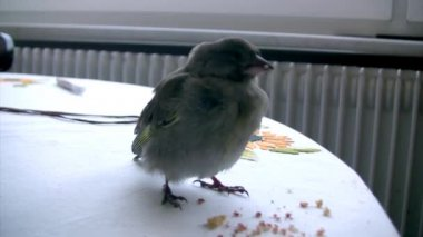 Sparrow On Table in room — Stock video