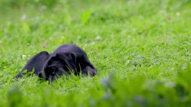 Doggy playing with bone on grass — Stockvideo