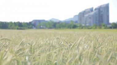 Wheat Growing near City — Stock Video