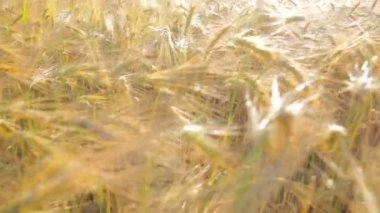 Sun Shining on Wheat Field — Stock Video