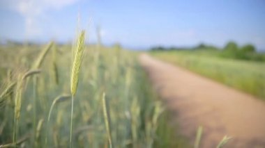 Agriculture, field of Wheat — Stock Video