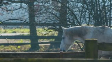 White horse walking — Stockvideo