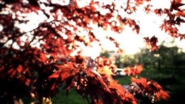 Boom met rode bladeren — Stockvideo