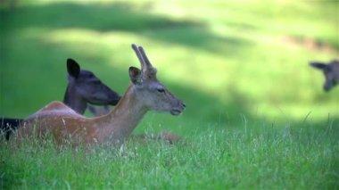 Deer eating on  lawn — Stock Video
