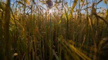 Golden field of wheat ripened. — Stock Video