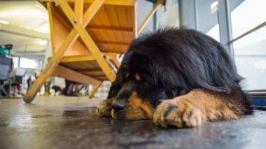 Tibetan mastif dog resting — Stock Video
