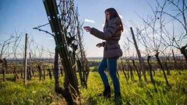 Person check vineyard branches — Stock Video