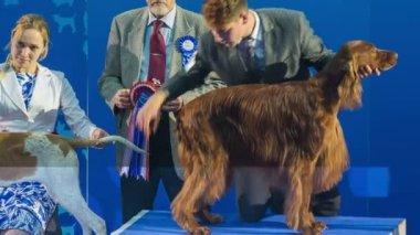 Winner dog at international exhibition — Stock Video