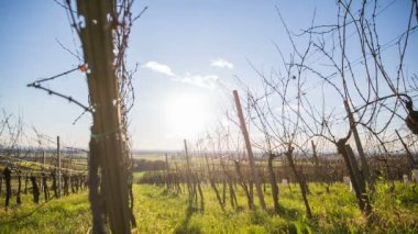 Person walking in vineyard — Stock Video