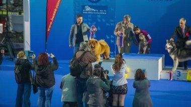 Dog winners on winning podium — Stock Video