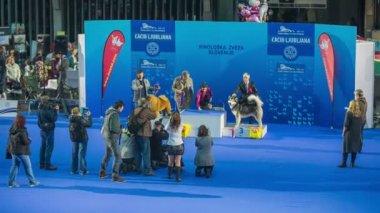 International dog exhibition winners. — Stock Video