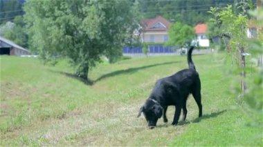 Dog searching something — Stock Video