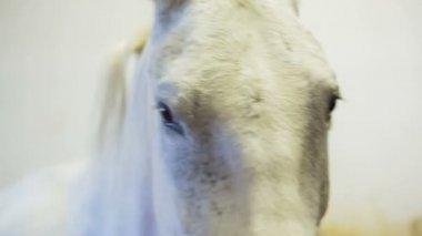Person preparing white horse — Stock Video