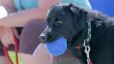 Labrador with  ball in mouth. — Stock Video