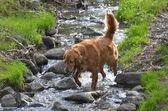 Dog in river — Stock Photo