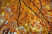 Autumn foliage of a beech tree shot against the sun — Zdjęcie stockowe