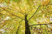Beautiful treetop of an autumn beech tree — Stock Photo