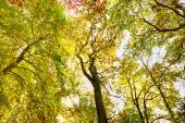 Autumn beech forest treetop background — Stock Photo