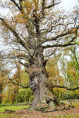 HDR shoot of an very old oak — Stock Photo