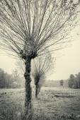 Willow trees in a row, in autumn,vintage version — Stock Photo