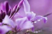 Close up of morning dew on purple blossoms — Stock Photo