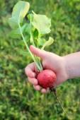 Child's Hand Holding Big Fresh Garden Radish — Stock Photo
