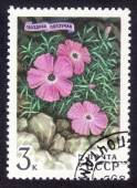 Postage stamp of the USSR 1977 Cloves creeping — Stock Photo