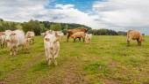 Rebanho de vacas — Foto Stock