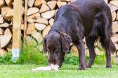 Dog eats chicken — Stock Photo
