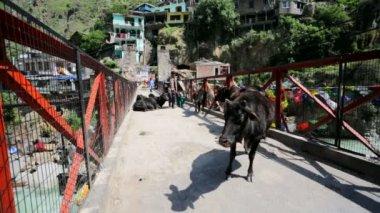 Cows on a bridge. — Stock Video