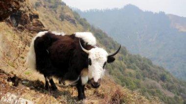Wild yak pasturing — Stock Video