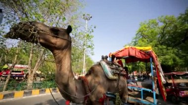 Camel Rickshaw near Taj Mahal — Stock Video