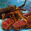 Lobsters in a restaurant aquarium — Vídeo de stock #62786075