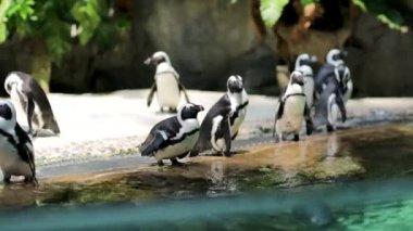 Pingouins de humboldt dans le zoo de singapour — Vidéo