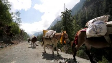 Caravan of donkeys carry supplies — Vidéo