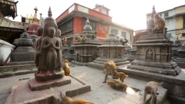 Monkeys at Monkey temple — Stock Video