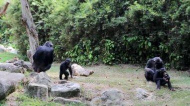Chimpanzee Family in Singapore Zoo — Stock Video