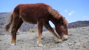 Wild horse pasturing — Stock Video