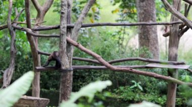 Capuchin monkey in Singapore Zoo — Stock Video