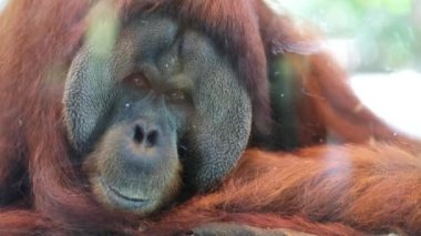 Orangutan in Singapore Zoo — Stock Video
