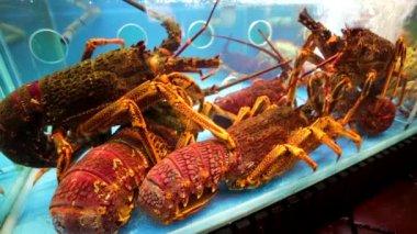 Lobsters in a restaurant aquarium — Vídeo stock