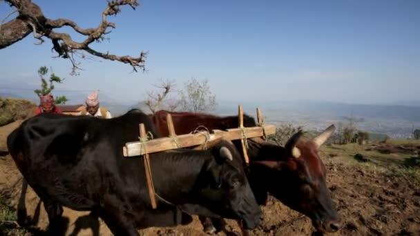 Man plows rice field — Vídeo de stock